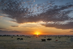 Cattle_Sunset_Lincoln_CA-0022