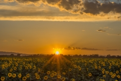 Sunflower_Sunset_Davis-2
