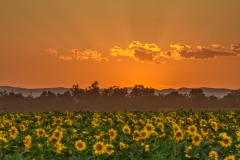 Sunset_sunflowers_Davis-2